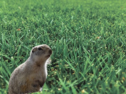 gopher in grass